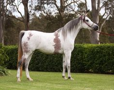 Sweet Meadows Sanaya (Simeon Sandek x Nurelee Zabaya), 2002 grey mare. A bloody-shouldered Arabian.