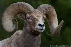 Grain Fed by Mark Bates on 500px A big-horn sheep checks me out while feeding. Taken in Yellowstone Park.