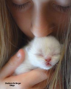 Photo d'un chaton à la Chatterie du Berger Selkirk Rex, Baby Animals, Cute Animals, T Rex, Oeuvre D'art, Cat Lady, Cute Babies, Pets, Kitty Cats