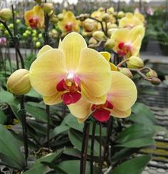 "Summer orchid flowers Doritaenopsis Chian Xen Queen ""JB18"" #orchidflowers #orchids #orchidplants"