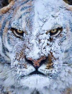 NEVER throw a snowball at a tiger. Pisses them off something awful.