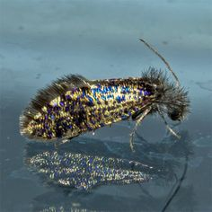 This Leaf-miner Moth is Fluffed and Bedazzled After a Hard Larval Stage of Work.