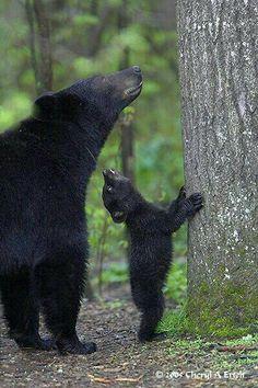 Wild baby animals ~ Dreamy Nature - mama bear and cub Nature Animals, Animals And Pets, Wild Animals, Beautiful Creatures, Animals Beautiful, Animals Amazing, Cute Baby Animals, Funny Animals, Cute Bear