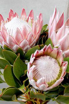 Flor Protea, Protea Art, Protea Flower, Ranunculus Flowers, Flower Vases, Flower Art, Tropical Flowers, Exotic Flowers, Wild Flowers