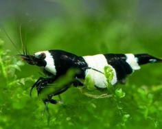 Black Panda Garnele, Caridina spec. Black Panda ( Taiwan Bee ) 8.95 €