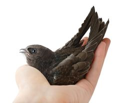 Many people confuse the noises they hear coming from their chimney. Read on to see if you are dealing with a Chimney Swift or a bat problem. Small Birds, Little Birds, Beautiful Birds, Animals Beautiful, Beautiful Things, Swift Bird, Protected Species, Flying Insects, Bird Species