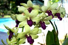 Dendrobium orchid Dendrobium Orchids, Hummingbird, Flowers, Plants, Hummingbirds, Flora, Royal Icing Flowers, Floral, Plant