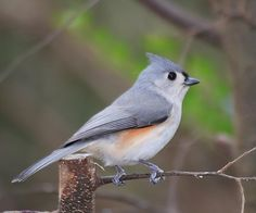 First bird I learned by song... Tufted titmouse