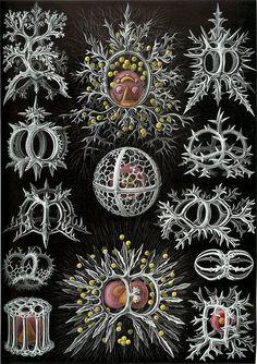 Ernst Haeckle
