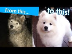 How to groom a Samoyed puppy - YouTube just goes over training pups for grooming really well