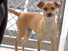 RESCUED-- URGENT--**PUPPY ALERT** Sweet HADLEY is looking of a way home. She is adorable and petite and you will just want to hold her and make her feel better! #A4958517 My name is HADLEY and I'm an approximately 10 month old female Chihuahua. I am not yet spayed. I have been at the Carson Animal Care Center since 6/8 https://www.facebook.com/savingcarsonshelterdogs/photos/a.219655291540446.1073741846.171850219654287/603486489823989/?type=3&theater
