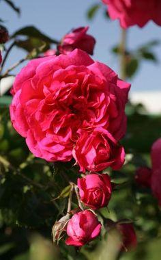 'Laguna' trägt große, stark gefüllte nostalgische Blüten in kräftigem Pink und mit auffallend starkem Duft. Ende Juni ist die Pflanze fast vollständig mit Blüten bedeckt, danach erscheinen bis zum zweiten, schwachen Flor ab Anfang September nur noch vereinzelt neue Blüten. Die kräftig wachsende Kletterrose wird bis 2,50 Meter hoch und trägt seit 2007 das ADR-Siegel. Ihre Selbstreinigung lässt wie bei den meisten großblütigen, stark gefüllten Sorten zu wünschen übrig (Kordes 2004).