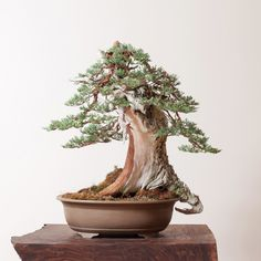 If you took away the little deadwood hook on the right, this Sierra juniper (Juniperus occidentalis) would still be spectacular. With the hook, it's tree you'll never forget.