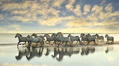 A herd of white horses gallop through a calm saltwater delta, kicking up spray as they ra