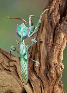 Idolomantis diabolica / Giant Devil's Flower Mantis Care She. - Idolomantis diabolica / Giant Devil's Flower Mantis Care Sheet Pretty Animals, Animals Beautiful, Cute Animals, Cool Insects, Bugs And Insects, Mantis Religiosa, Cool Bugs, Beautiful Bugs, Praying Mantis