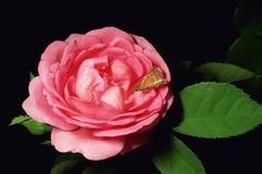 homemade insect repellent for roses