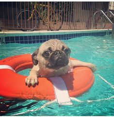 #fbf to 2 summers ago! Just keep swimming #pugs #pugpuppy #pugsofinstagram #pugsswimming #pugsinpools #pooltime #pugnation #puglove…