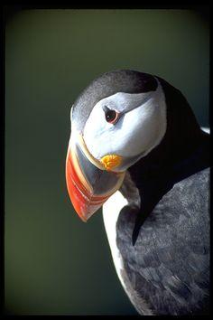 Fratercula arctica; Atlantic Puffin