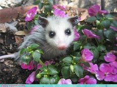Possum in Purple Flowers