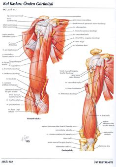 Posterior muscles of the arm   Anatomy   Pinterest   Muscles and ...