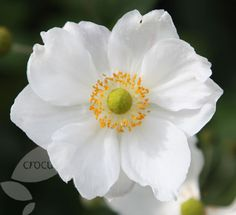 Buy Japanese anemone Anemone × hybrida 'Honorine Jobert': Delivery by Crocus
