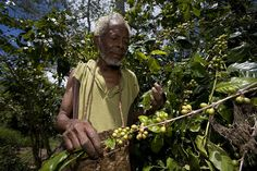 "Coffee farmer Mr Sebastaoa Ribero, 80, lives in Ulmera district in East Timor. Mr Ribero has farmed coffee for 24 years. His wife and six of his eight children died during the Indonesian invasion in 1975 when his family fled to the mountains. He now has seven grand children from his remaining two children. Mr Ribero says: ""I'm old now but I hope the cooperative will benefit the young people."""