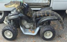 After a lengthy battle with the Florida Fish and Wildlife Conservation Commission, a Florida woman gets to keep her pet alligator Rambo, who happens to. Cute Reptiles, Reptiles And Amphibians, Baby Animals, Funny Animals, Cute Animals, Leopard Gecko Cute, Florida Fish, Atv Riding, Florida Woman