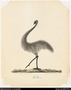 Browne, Richard, 1776-1824. The emu [picture]