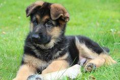 #GSD #Puppy-Hector