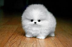 Fluffy White Maltese Puppy