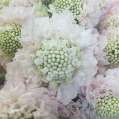 Shop Fabulous Florals' huge selection of fresh-cut wholesale flowers, bulk flowers and DIY wedding flowers and foliage, including Vanilla Scoop Scabiosas. Wedding Flower Guide, Diy Wedding Flowers, Wedding Bouquets, Types Of Flowers, Large Flowers, Colorful Flowers, Scabiosa Columbaria, Flower Names, Floral Foam