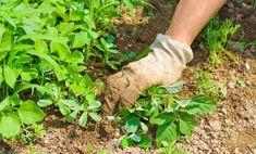 Gyomnövények: 6 tipp, hogy könnyen megszabaduljon tőlük Weeds In Lawn, Garden Weeds, Garden Soil, Garden Care, Organic Gardening, Gardening Tips, Weed Killer Homemade, Organic Weed Control, Pulling Weeds