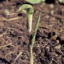 Triphyllum Arisaema (Jack-In-Pulpit) Bulb Flowers, Green Flowers, Colorful Flowers, Jack In The Pulpit, Plant Catalogs, Garden Bulbs, Green Fruit, Unique Plants, Fall Plants