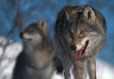 Wolf. Bokeh Photography, Wildlife Photography, Animals Images, Animal Pictures, Wild Creatures, Shih Tzu, Animals Beautiful, Beautiful Things, Animal Kingdom