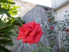 rosas : rosa roja   ahorayya2