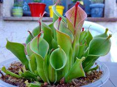 heliamphora beauty
