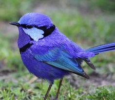 beautiful blue wren.