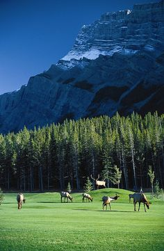 The Fairmont Banff Springs Golf Course - only saw three elks, but it is this beautiful.
