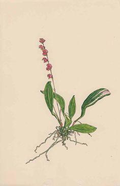 245895 Stelis ciliaris Lindl. [as Stelis atropurpurea Hook.]  / Barnas-Pomeroy, M., Barnas, C.F.J., Wildflowers and landscapes of Ecuador - The way we knew it,  fasicle R, t. 4 (2014) [M. Barnas-Pomeroy]