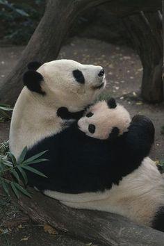 A momma panda bear hugging her baby.