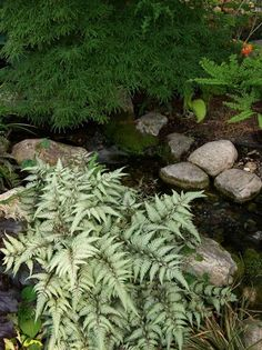 Great Perennials for Shade (All of Them Deer Resistant) Japanese Ghost Fern, Athyrium 'Ghost': Part to full shade. Normal, sandy or clay soils are fine. Deer Resistant Flowers, Deer Resistant Garden, Deer Resistant Perennials, Garden Frogs, Shade Flowers, Jade Plants, Shade Perennials, Woodland Garden, Succulents Garden