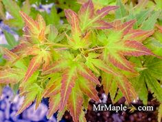 Saiho is an excellent dwarf Japanese maple that fits great in small spaces or is the ultimate bonsai Japanese maple.