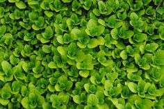 Creeping oregano - ground cover, useful herb, drought tolerant, beautiful!