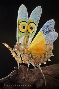Beautiful in a creepy/nature kind of way - check out the link for more awesomely weird insect pics