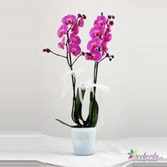 İki kandilli Phalaenopsis orkide Ordu'da hızlı, ucuz ve kaliteli çiçek göndermek için en doğru adres..  www.cicekordu.com