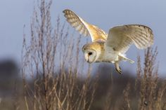A barn owl hunting for voles at a nature reserve in Essex, England [Photo: Paul Thwaites]