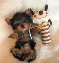 Yorkshire Terrier puppies are just terrifying… - Yorkie - Yorky Terrier, Terrier Dogs, Bull Terriers, Cute Puppies, Cute Dogs, Dogs And Puppies, Funny Dogs, Top Dog Breeds, Teacup Yorkie