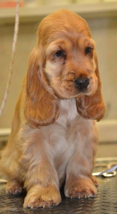 English Cocker Spaniel Pup ~ Classic Look & Trim English Cocker Spaniel, Golden Cocker Spaniel, Cocker Spaniel Puppies, Yorkshire Terrier Puppies, Cute Puppies, Cute Dogs, Dogs And Puppies, Doggies, Animals And Pets