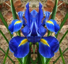 iridácea chamada Iris xiphium.