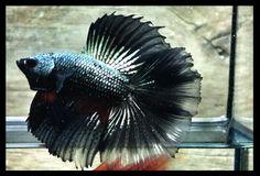 AquaBid.com ***Emperor copper*** 207 # Doubletail